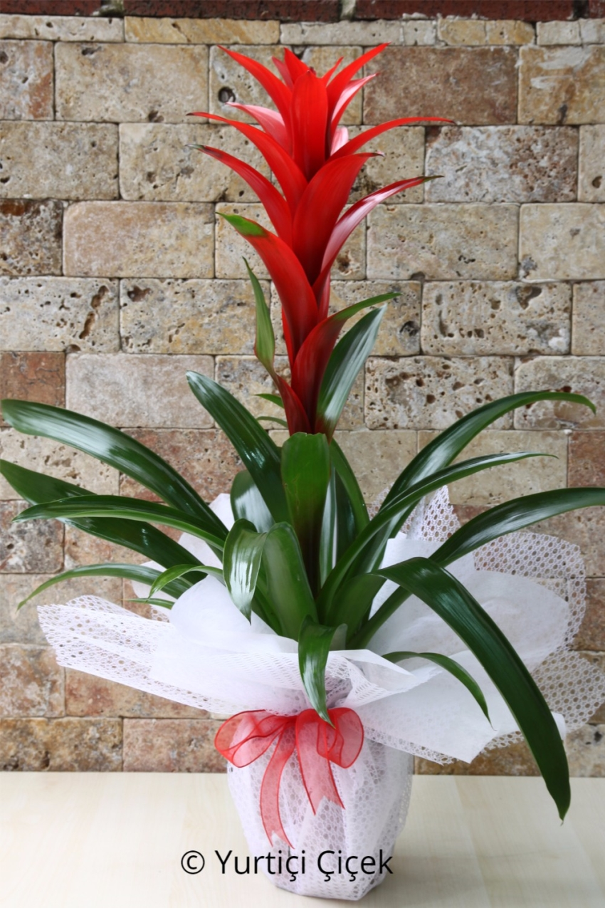Flowerpot Guzmania 