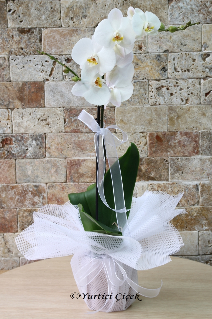 Single White Potted Orchids 