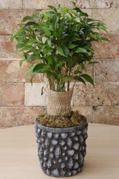 The tangerine tree, with its fruity and lovely appearance, will make your love very, very happy.