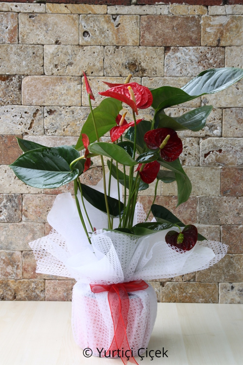Anthurium Flowerpot 