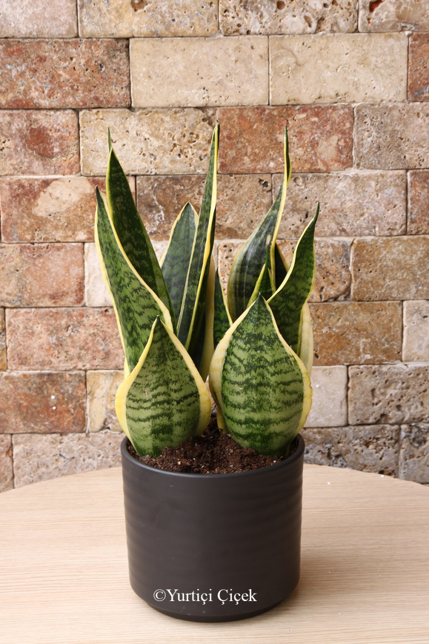 Special Vase 5 pieces with your loved ones from Cactus Terrarium prepared a pleasant surprise, you can do it. Approximate Product Dimensions: 35 cm