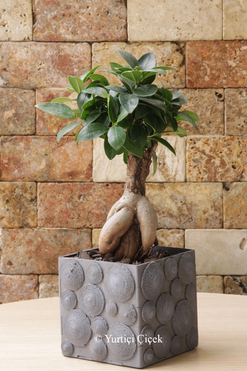 Same day delivery of top quality bonsai varieties for Different kinds of bonsai trees