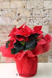 You can make a nice and meaningful surprise to your loved ones with the magnificent image of Poinsettia. Approximate Product Size: 60 cm