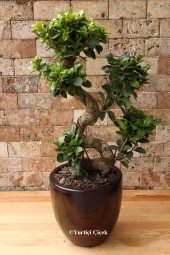 What do you think about making the most special surprise to your favorite with miniature tree bonsai?